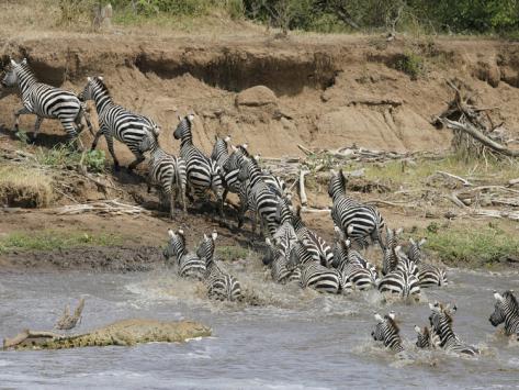 Un grup de zebre traverseaza raul, Foto: art.com