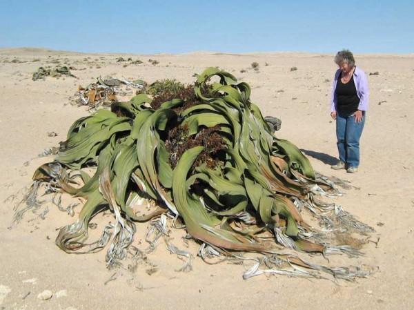 Welwitschia Mirabilis, Foto: andycowley.com