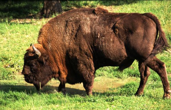 Zimbrul (Bison bonasus), Mascul, Foto: animal.memozee.com