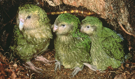 Femela si pui Kakapo, Foto: terranature.org