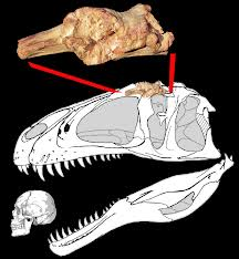 Sauroniops pachytholus, Fragmentul osos descoperit in Maroc, Foto: novataxa.blogspot.com