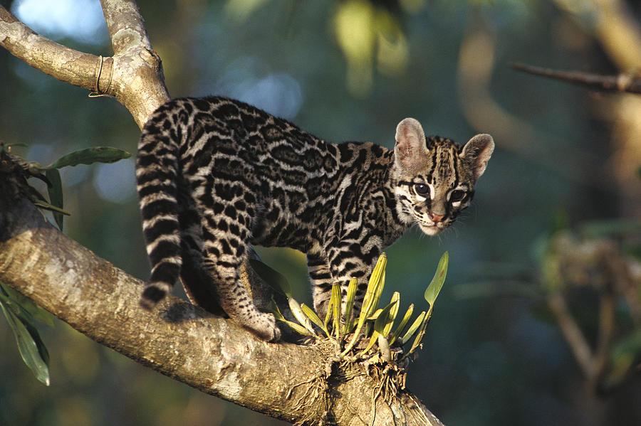 Leopardus wiedii, Foto: fineartamerica.com