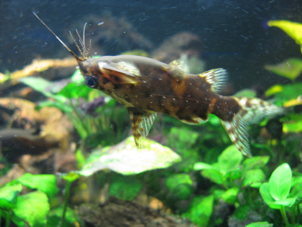 Pestele Synodontis contractus, Foto: backyardzoologist.wordpress.com
