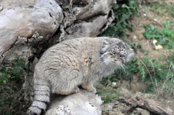 Pisica salbatica manul in mediul sau natural, Foto: felids.wordpress.com