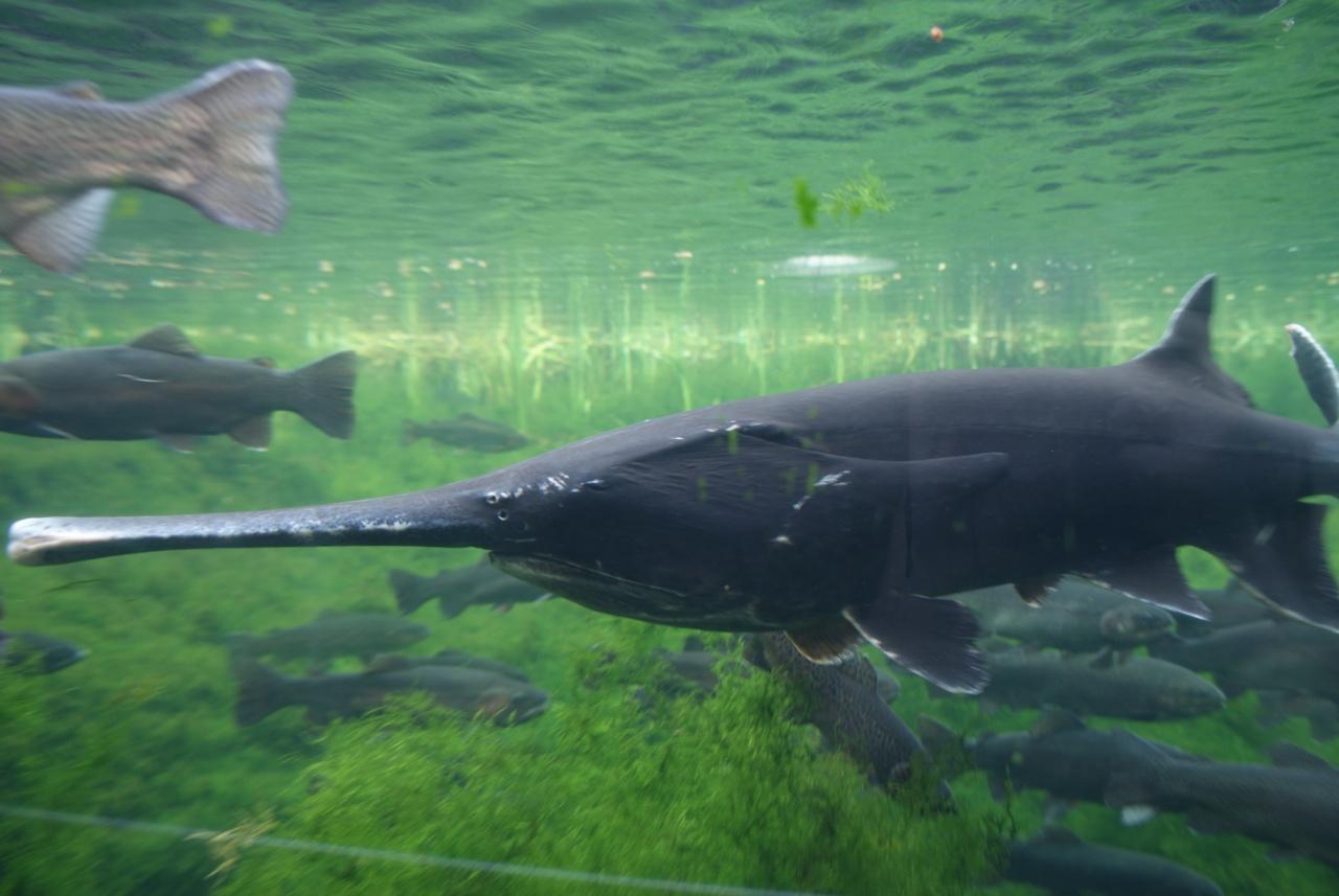 Polyodon spathula, Foto: masterok.livejournal.com