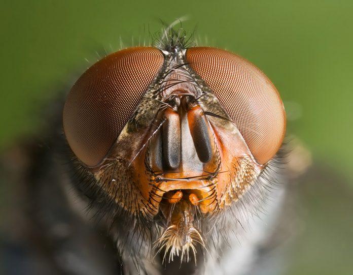 musca are vedere molia de ceara pentru tratamentul vederii