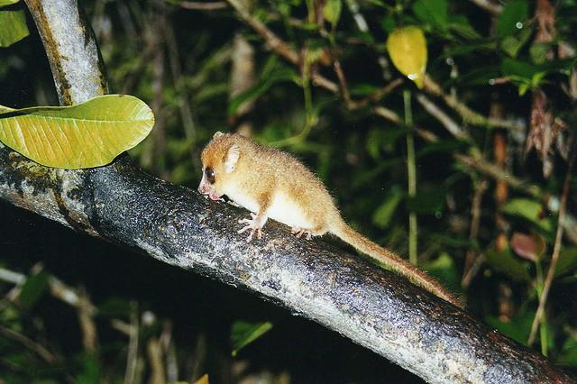 Cea mai mica primata din lume, Foto: mainlymongoose.blogspot.ro