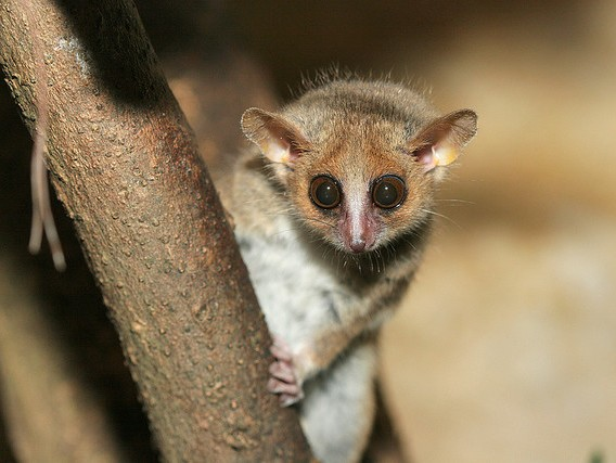 Makiul-soarece in padurile din Madagascar, Foto: mainlymongoose.blogspot.ro