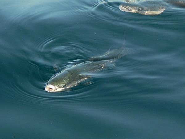 Pestele Chelon labrosus, Foto: pescadenton.blogspot.ro