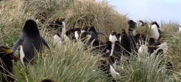 Colonie de pinguini