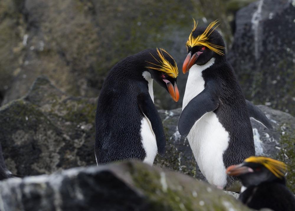 Pinguinul macaroni, Foto: imgarcade.com