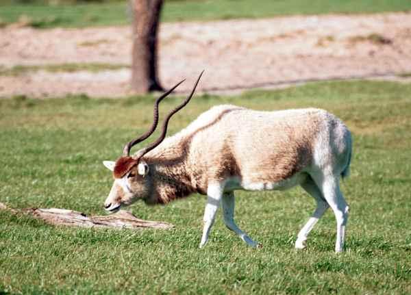 Antilopa alba, Foto: free-extras.com