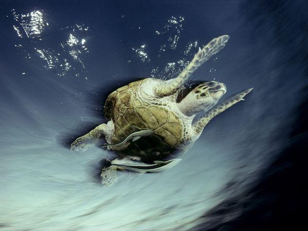 Boasca testoasa in Marea Rosie, foto David Doubilet