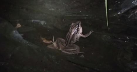 Broasca cu dungi maro (Lymnodynastes peronii)