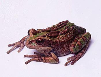 Broasca marsupiala de munte (Gastrotheca monticola), Foto: grenouilles.free.fr