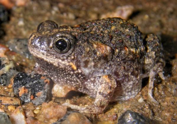 Broasca raioasa zidar - Femela depune ouale sub forma de gramezi, pe fundul baltilor, in sezonul de iarna.