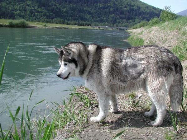 Rasa Husky Siberian, Foto: huskydogblog.com