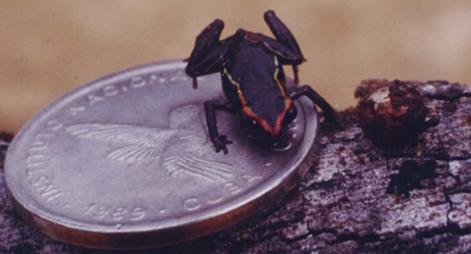 Cea mai mica specie de broaste din lume