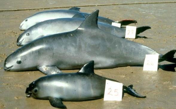 Cel mai mic delfin din lume