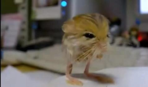 Cel mai mic jerboa din lume