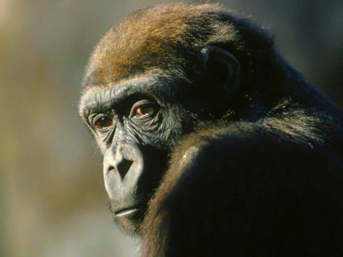Gorilla gorilla gorilla, Foto: boralginmages.appspot.com