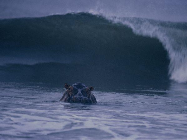 Hippopatam inotand in apa in largul coastei Gabon, Foto MiChael Nichols