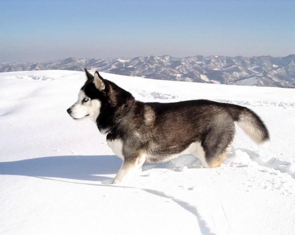 Husky Siberian Gri are rezistenta nativa foarte buna, Foto: huskydogblog.com