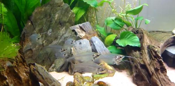 Kryptopterus bicirrhis - Somnul de sticla este camuflat perfect in apa, i se poate vedea doar coloana vertebrala.