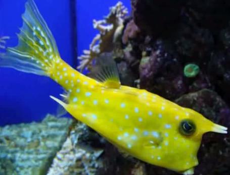 Lactoria cornuta, Pestele-cutie se hraneste cu nevertebrate de pe fundul apei.