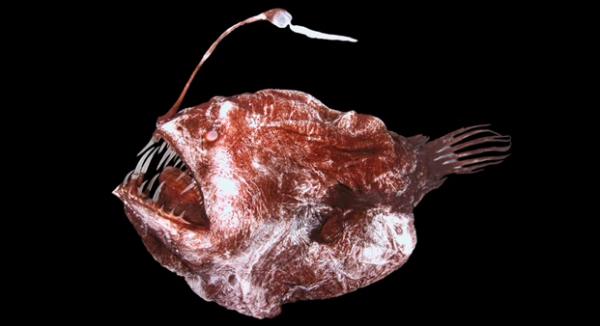 Melanocetus johnsoni, Diavolul negru are o nada pe inotatoarea dorsala.