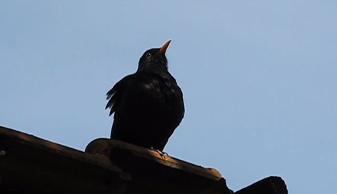 Mierla pe acoperisul unei cladiri