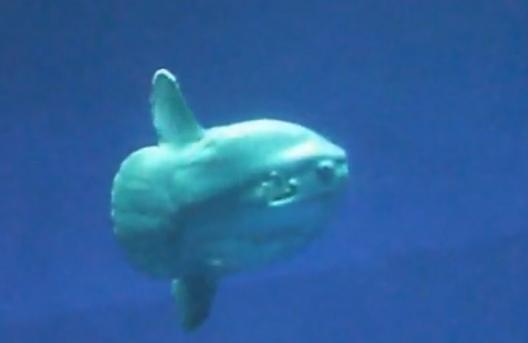 Pestele Mola mola - Vazut din profil se aseamana cu un disc imens