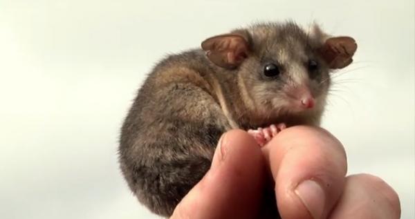 Oposum pigmeu de munte