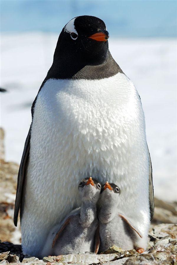 Pinguin Pygoscelis papua, Femela cu doi pui, fotograf Igor Gvozdovskyy