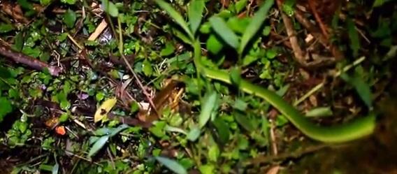 Rana albolabris - Femela are timpanele mai mici decat ale masculului.