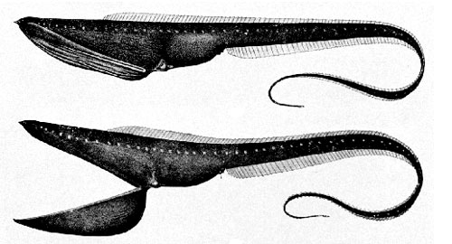 Saccopharynx ampullaceus, Foto: fish.sppchina.com