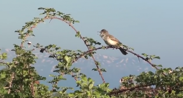 Silvie porumbaca - Sylvia nisoria
