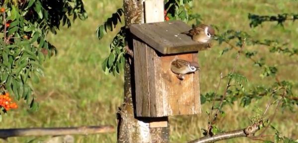 Vrabia de camp sau de vrabia de padure - Paser montanus