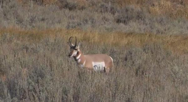 Pronghornul (Antilocapra americana), unul dintre cele mai rapide animale din lume