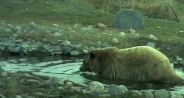Brutus se balaceste in apa unui rau in rezervatia unde traieste