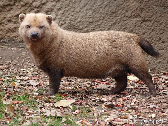 Cainele de tufis vaneaza rozatoare dar si animale mai mari - capibara si nandu