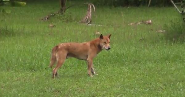 Dingo - Astfel de caini se imperecheaza adesea cu cainii domestici.