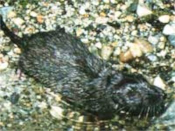 Chitcanul-vidra Nimba (Micropotamogale lamottei), Fotot: geolution.nl