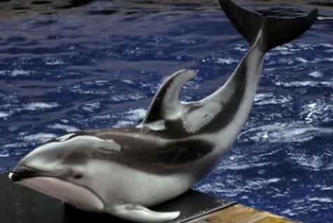 Delfinul de Pacific cu flancurile albe