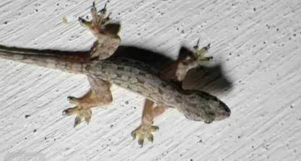 Gecko de casa comun se ascunde frecvent in scorburi si pe sub pietre
