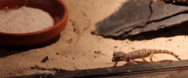 Gecko elegant de nisip
