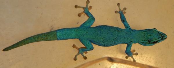 Lepidodactylus picturatus