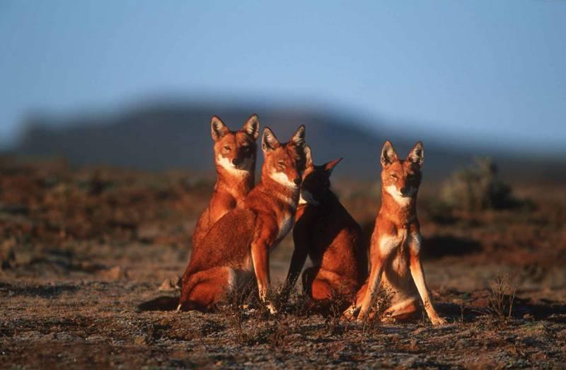 Lupul etiopian (Canis simensis)