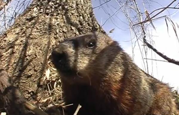 Marmota de America la intrarea in vizuina - Marmota monax