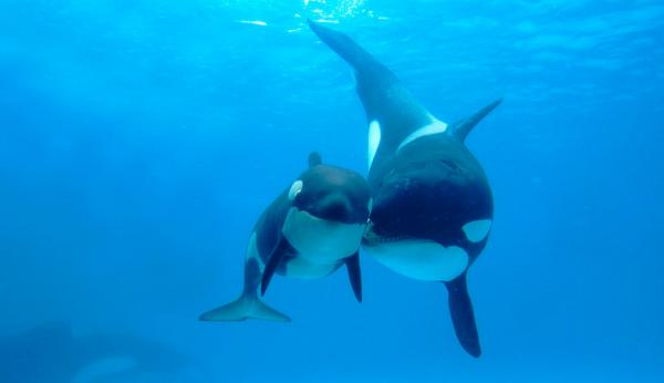 Balena ucigasa, Foto: fineartamerica.com